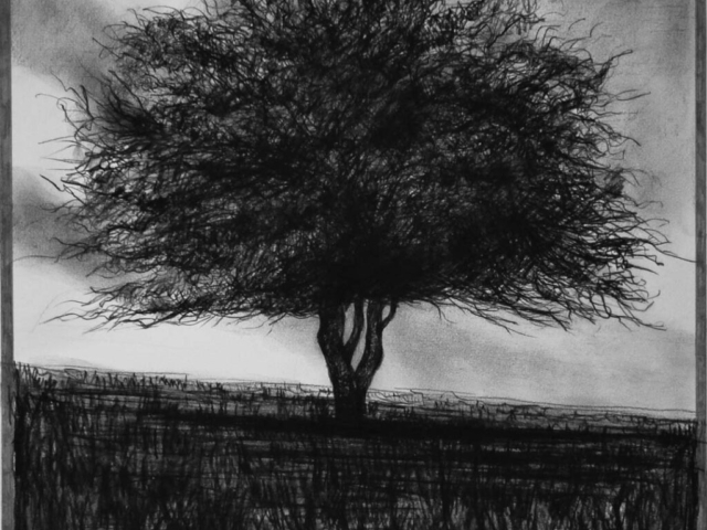 Hawthorn Tree (1), charcoal & conte, private collection