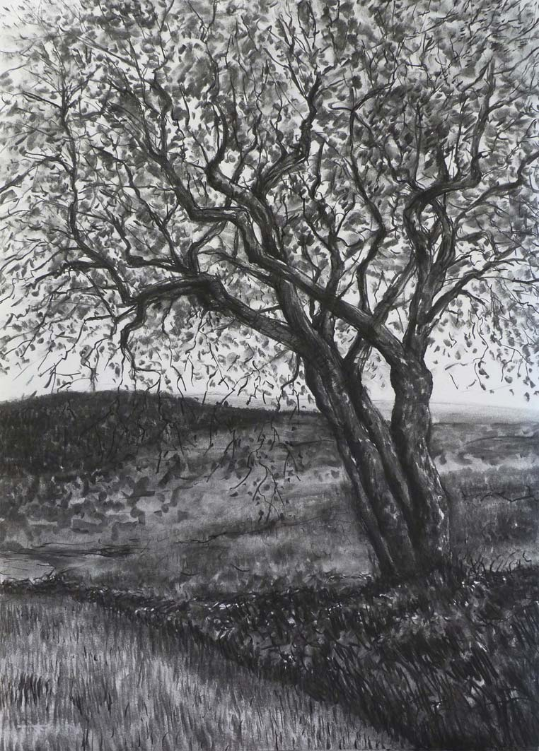 Hawthorn Tree in Spring (2), charcoal, private collection
