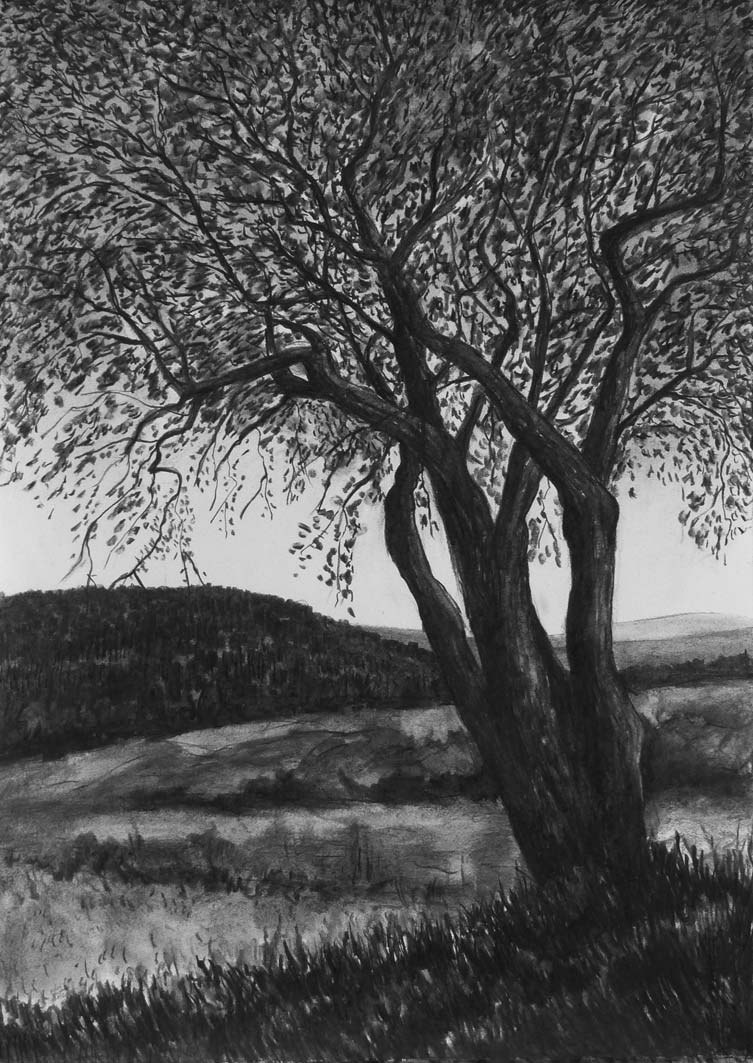 Hawthorn Tree in Spring, charcoal, 76x53cm